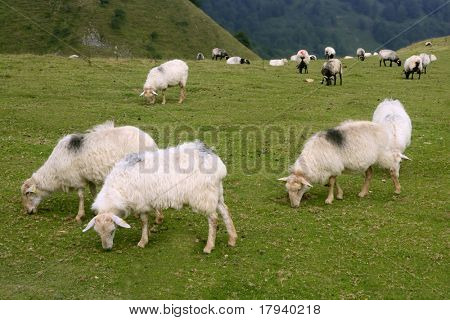 Green meadow with Pyrenees sheep  flock grass landscape