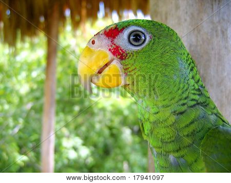 cotorra parrot green from Central America Mexico jungle