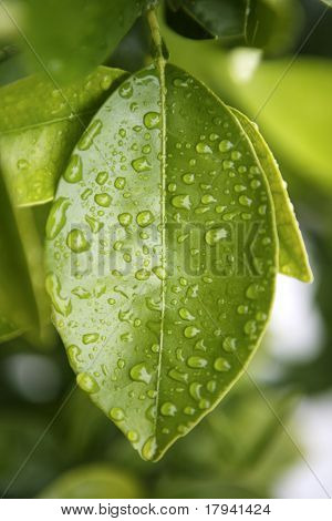 water drops on an orange tree green leaf background