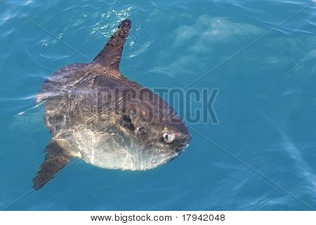 sunfish in real sea nature, mola mola luna sun saltwater fish