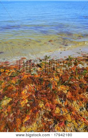 colorful yellow red seaweed algae on sea ocean shore coastline