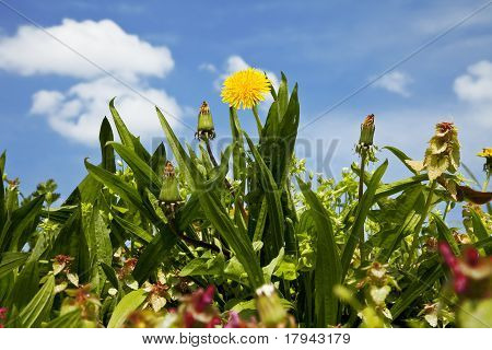 dandelion among grass