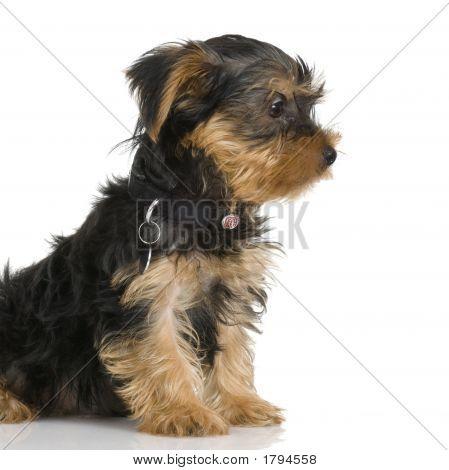 Puppy Yorkshire Terrie...