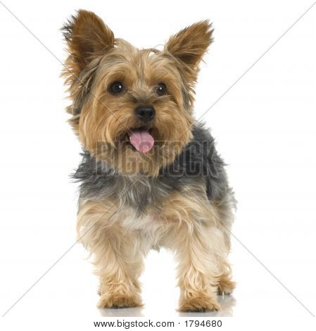 Yorkshire Terrier (4 Years)