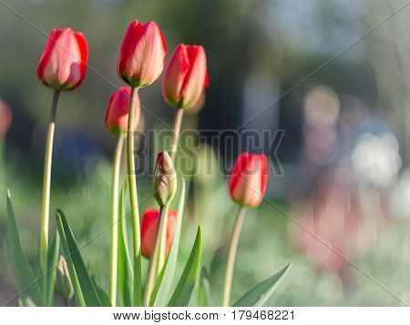 spring red tulips with blurred background in the park