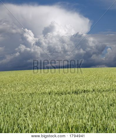 Green Wheat And Stormclouds