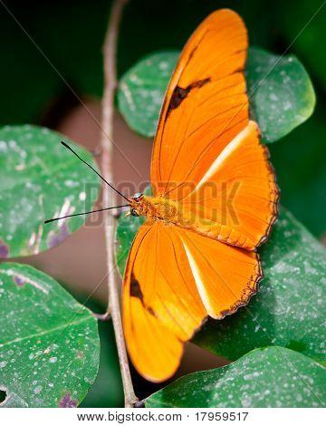 Orange Julia Butterfly