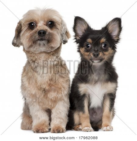 Shih Tzu and Chihuahua, 5 years old and 3 months old, sitting in front of white background