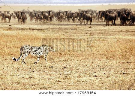 Masai Mara Cheetah Stalking Wildebeest