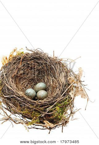 Detail of blackbird eggs in nest isolated on white
