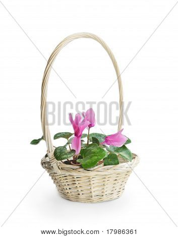 Pink Cyclamen Flower In Basket