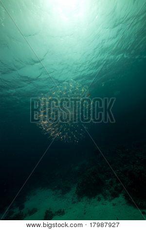 Pelagic Tunicates In The Red Sea.