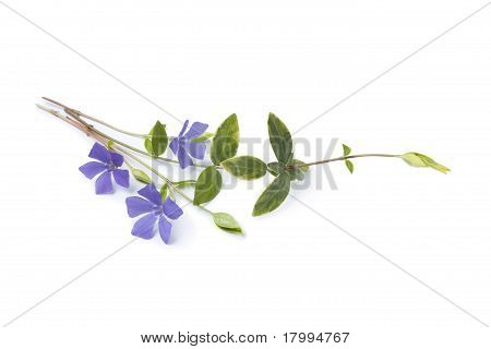 Blue flowering Vinca Minor