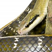 stock photo of snakehead  - Rat snake in front of a white background - JPG