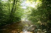 Постер, плакат: Бук лесной деревья с речного стока под тени