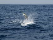 picture of game-fish  - Sailfish saltwater sport fishing jumping - JPG
