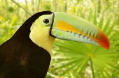 toucan kee billed Tamphastos sulfuratus on the jungle poster
