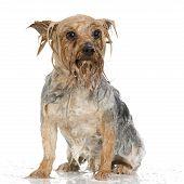 Shampoo Dog poster
