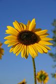 Sunflower And Blue Sky 2 poster