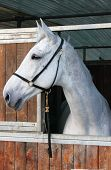 picture of white horse  - Portrait of a white horse in a stable