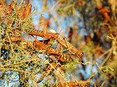foto of locust  - A tree covered by plague of locusts in the Desert of Judea - JPG