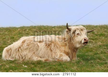 Dexter Highland Cow