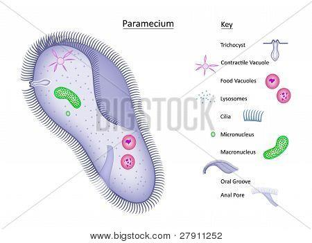 Paramecium with Key