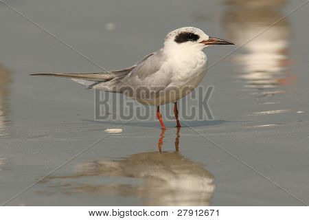 Sandwich Tern on an Atlantic beach