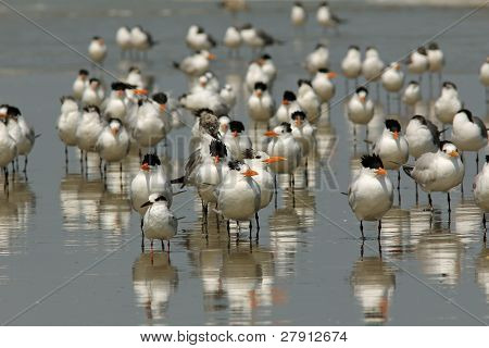 Flock of Royal Terns on a Beach