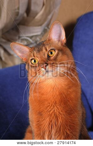 Cute Somali Cat Portrait
