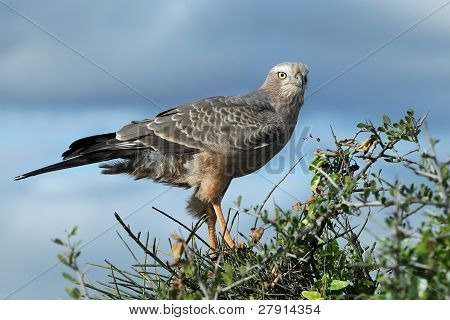 Juvenile Pale Chanting Goshawk Bird