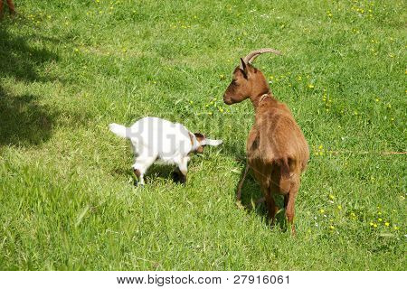 Family Goats Playing In Asturias
