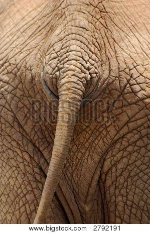 Rabo de elefante