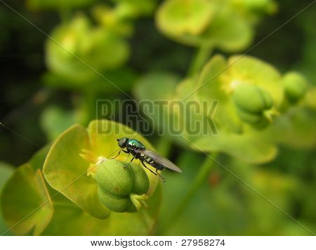 Green Fly on Spurge