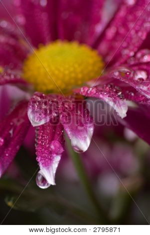 Pink Daisy'S With Rain Drops