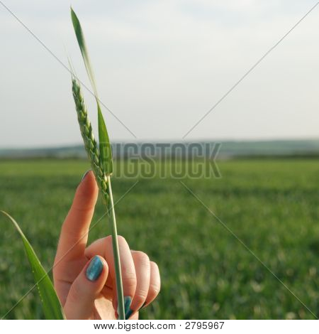 Wheat On A Female Hand