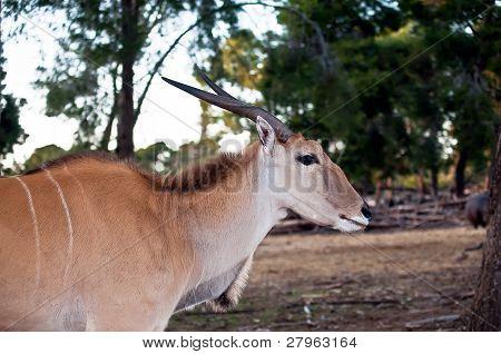 Eland Antilope .