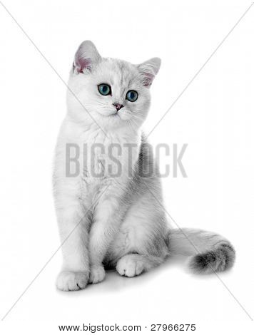 Kitten of the British breed. Rare coloring - a silvery chinchilla ?