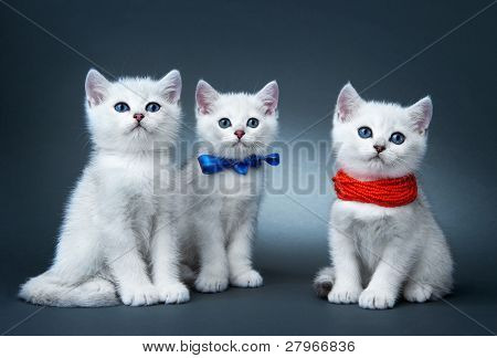 Kittens of the British breed. Rare coloring - a silvery chinchilla