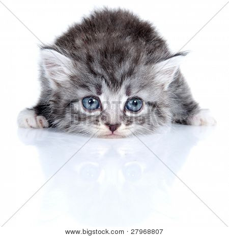 Small kitten on a white background. Age - 1 month