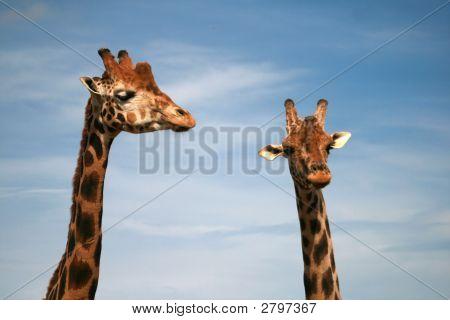 Baringo Giraffe - African Animal