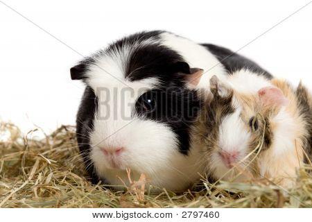 Guinea Pig Family