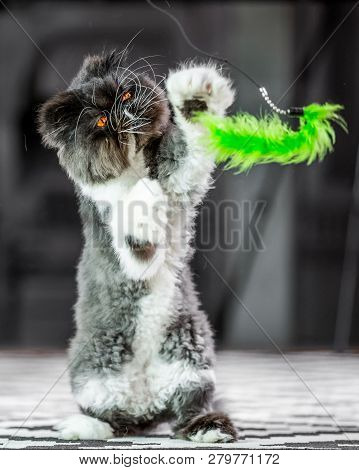 poster of Black And White Persian Cat On A Rug On Its Hind Legs Playing With A Green Cat Toy. A Persian Cat Wi