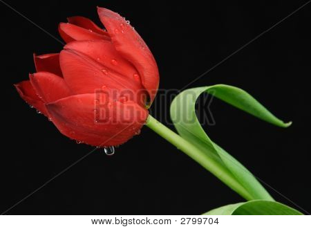 One Red Tulip With Dew