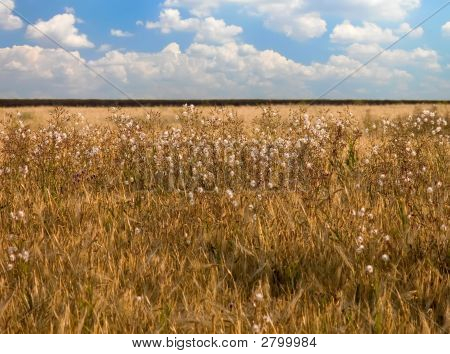 Wheat Field With Weeds