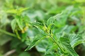 Urtica Dioica, Often Called Common Nettle Or Stinging Nettle poster
