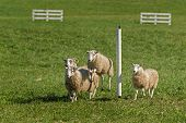 Sheep (ovis Aries) Jumps As Group Passes Pole On Stock Dog Herding Trial Course - At Sheep Dog Herdi poster