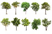 Isolated Big Tree On White Background ,the Collection Of Trees.large Trees Database Botanical Garden poster