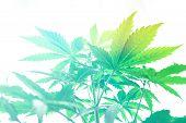 Cannabis Flower Indoor Growing. Grow Legal Recreational Cannabis. Northern Light Strain. Grow In Gro poster
