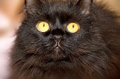 Furry Black Cat With Yellow Eyes Looking At The Camera. poster